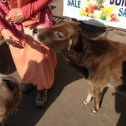 ali feeding cow