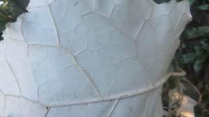 Terese leaf